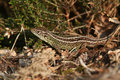 A rare Sand Lizard Lacerta agilis sunbathing in the undergrowth. Royalty Free Stock Photo
