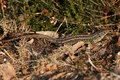 A rare Sand Lizard Lacerta agilis sunbathing in the undergrowth. Royalty Free Stock Photo