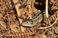 A rare Sand Lizard Lacerta agilis sunning itself in the undergrowth. Royalty Free Stock Photo