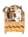 Rare Skookum cat standing on woven bamboo chair Royalty Free Stock Photos