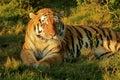 Rare Tiger  Stock Photo