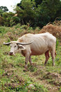 Rare White Albino Carabao Buffalo Stock Photo
