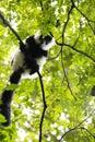 Rare White-belted Ruffed lemur - Gürtelvari, Varecia variegata subcincta, feeding on trees, National Park Nosi Mangabe, Mada Royalty Free Stock Photo