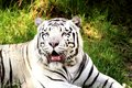 Rare white tiger a in the green Royalty Free Stock Photo