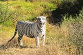 A rare white tiger in the wild shot of Royalty Free Stock Photos