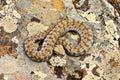 Rarest venomous european snake, the Milos viper Royalty Free Stock Photo
