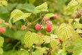 Rasberry raspberry contains anti oxidant vitamins like vitamin a and vitamin e Royalty Free Stock Photography