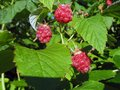 Raspberries big rape on bush close up Royalty Free Stock Photography