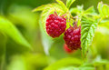 Raspberries on a branch in the garden Stock Images