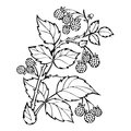 Raspberries coloring book, sketch, black and white illustration, monochrome. Branch raspberry leaves berries. Forest