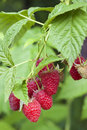 Raspberries growing on a branch closeup of Stock Image