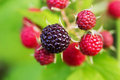 Raspberries. Growing Organic Berries closeup. Ripe raspberry in Royalty Free Stock Photo