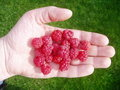 Raspberries in Hand Stock Photo