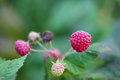 Raspberries macro on a branch Royalty Free Stock Photo