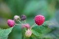 Raspberries macro on a branch Royalty Free Stock Photo
