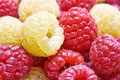 Raspberries mix of sweet yellow and red Royalty Free Stock Images