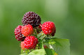 Raspberries raspberry is the edible fruit of a multitude of plant species in the genus rubus of the rose family are perennial with Stock Image