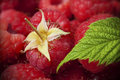 Raspberries, red fruits Stock Image