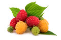 Raspberries red and yellow Royalty Free Stock Photo