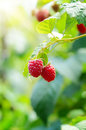 Raspberries ripe organic on branch ready for pick up Royalty Free Stock Images