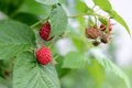 Raspberries ripening in the garden Royalty Free Stock Images