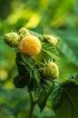 Raspberries shrub yellow in the garden Royalty Free Stock Photography