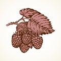 Raspberries. Vector illustration