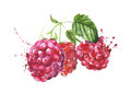 Raspberries watercolor painting isolated on white background Royalty Free Stock Photo