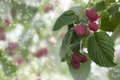 Raspberry branch with berries raspberry stock image Stock Photos