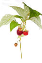 Raspberry branch of with berries on a white background Stock Photo