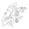 Raspberry branch ripe berry isolated white vector illustration Royalty Free Stock Photo