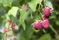 Raspberry on a bush raspberries in bunch the branch Stock Image