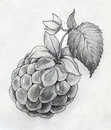 Raspberry close up sketch hand drawn ripe with leaf and flower pencil Royalty Free Stock Photos