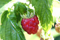 Raspberry fruit Stock Photo