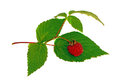Raspberry with green leaf isolated Royalty Free Stock Photos