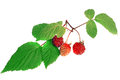 Raspberry with green leaf isolated Stock Photo