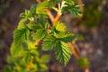 Raspberry leaf Royalty Free Stock Photo