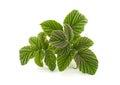 Raspberry leaf closeup isolated on white Royalty Free Stock Photos