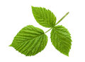 Raspberry leaf isolated Royalty Free Stock Photo