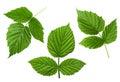 Raspberry leaf set Royalty Free Stock Photo