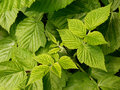 Raspberry leaves green as nature background Stock Photos