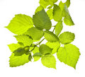 Raspberry leaves isolated Royalty Free Stock Photography