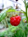 Raspberry plant Royalty Free Stock Photos