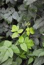 Raspberry plant Royalty Free Stock Photo