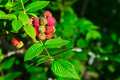 Raspberry in plant Royalty Free Stock Photo