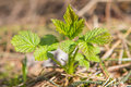 Raspberry plant Royalty Free Stock Photo