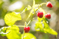 Raspberry on plant rubus idaeus red the green Stock Photo
