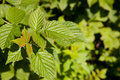 Raspberry plant starting to grow Royalty Free Stock Photo