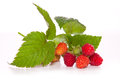Raspberry plant . Royalty Free Stock Photo
