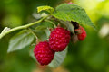 Raspberry plantation ripe in the garden Stock Photo